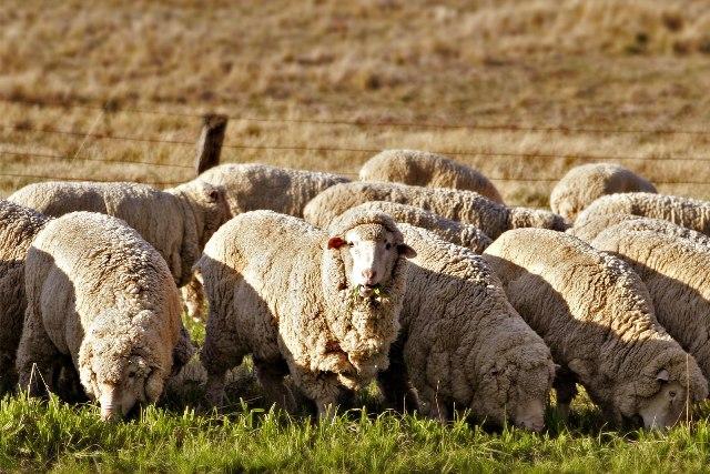 avstraliiska-mirinos-ovca